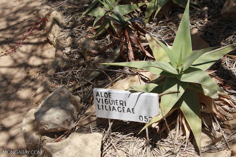 Aloe viguieri (Liliaceae)