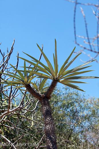 Spiny forest vegetation [madagascar_7636]