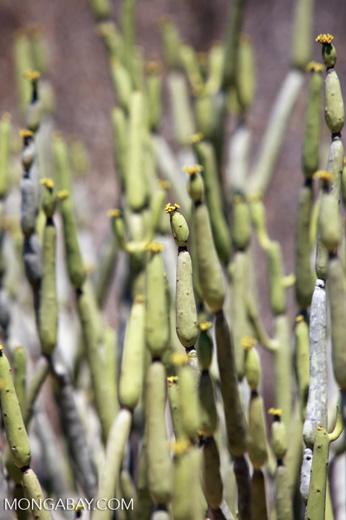 Euphorbia oncoclada (local name: Betondro)