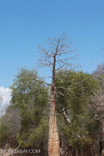 Spiny forest near Tulear [madagascar_7654]