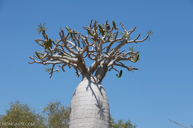 Pachypodium geayi (local name: Vontaka) [madagascar_7680]