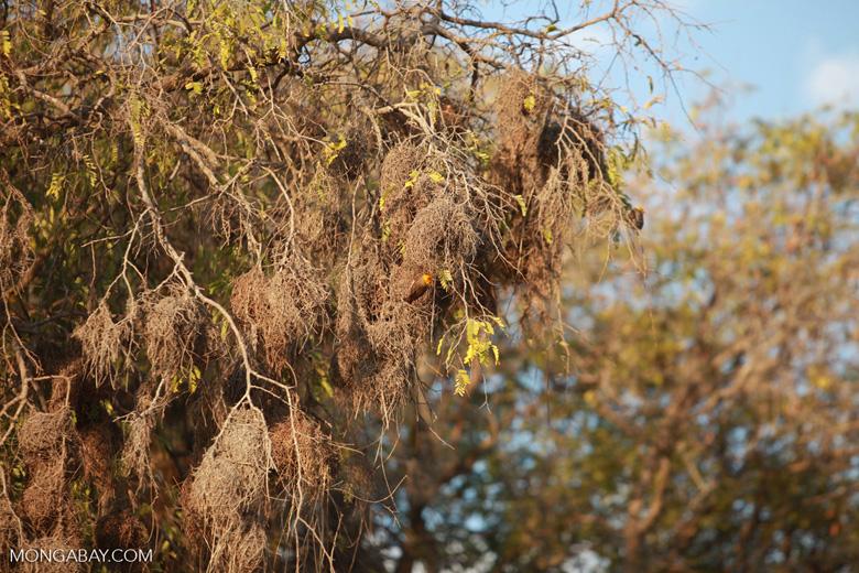 Sakalava Weavers (Ploceus sakalava) nesting
