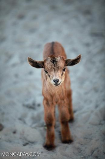 Goat kid [madagascar_7803]