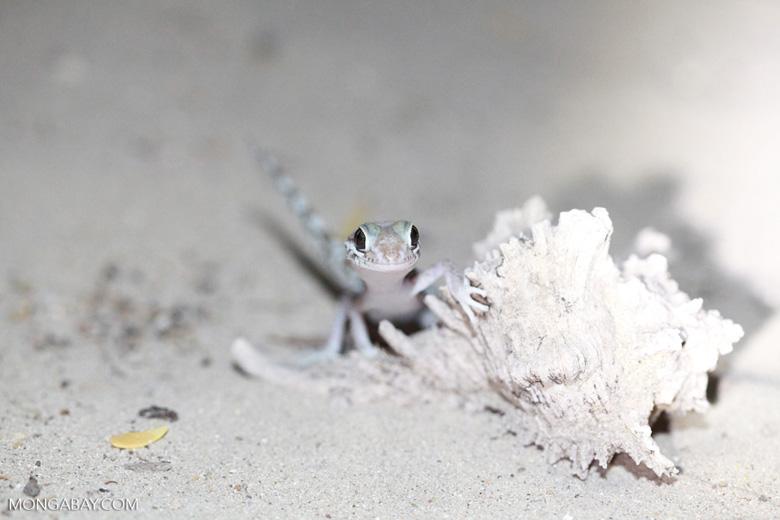 Paroedura bastardi gecko [madagascar_7838]