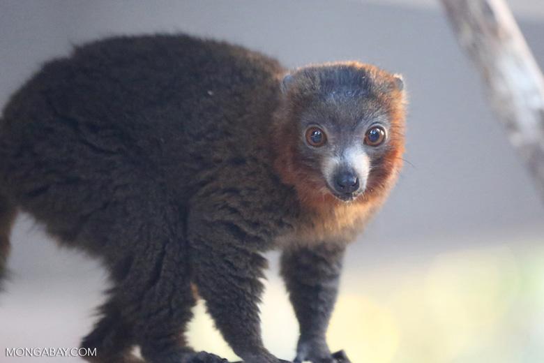 Male mongoose lemur (Eulemur mongoz) [madagascar_ankarafantsika_0003]