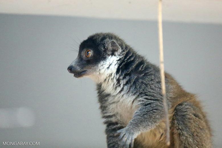 Female mongoose lemur (Eulemur mongoz) [madagascar_ankarafantsika_0008]