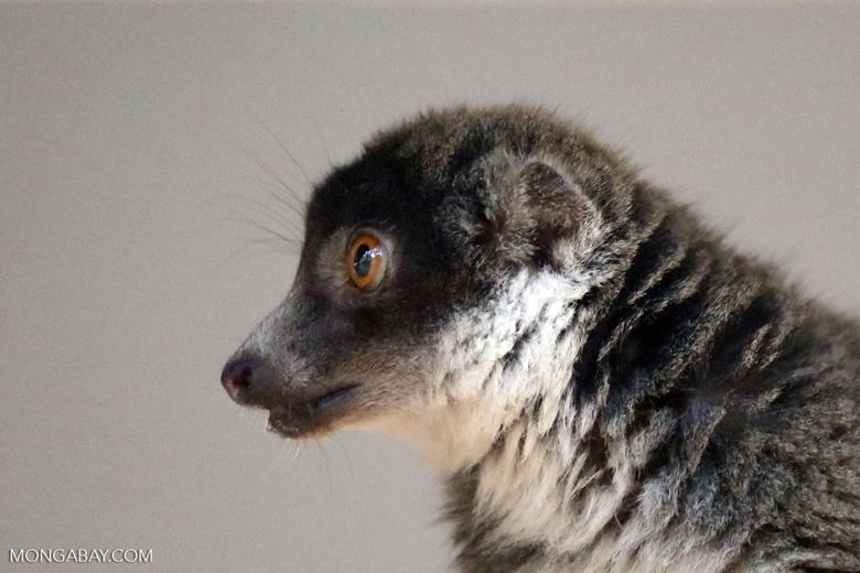Female mongoose lemur (Eulemur mongoz) [madagascar_ankarafantsika_0009]