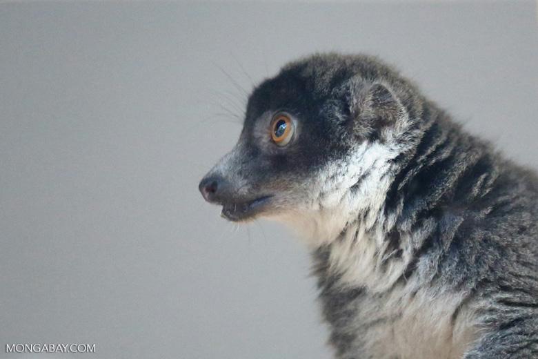 Female mongoose lemur (Eulemur mongoz) [madagascar_ankarafantsika_0010]