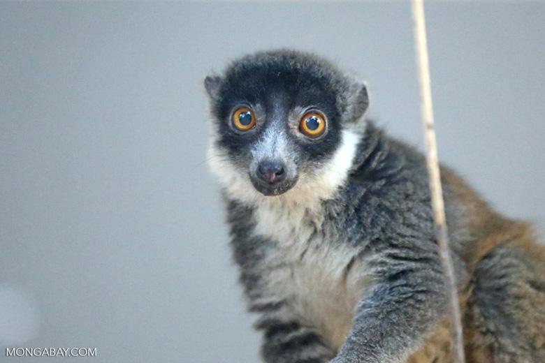 Female mongoose lemur (Eulemur mongoz) [madagascar_ankarafantsika_0012]
