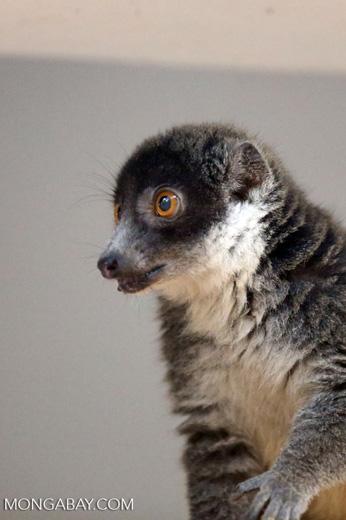Female mongoose lemur (Eulemur mongoz) [madagascar_ankarafantsika_0018]