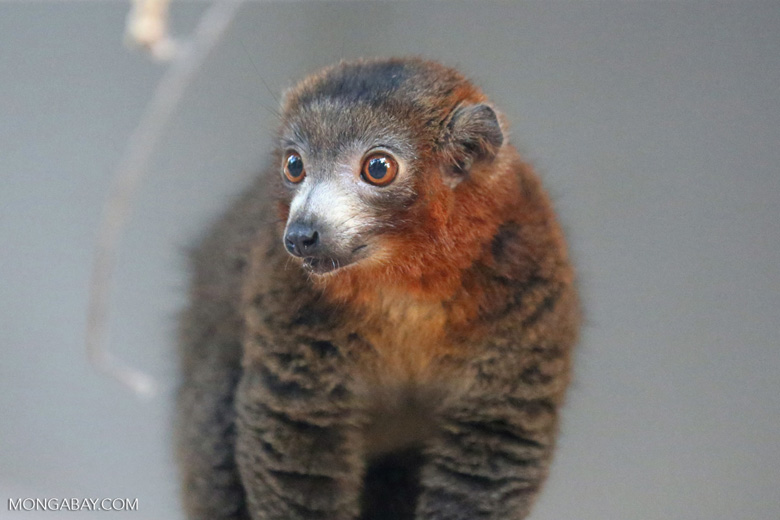 Male mongoose lemur (Eulemur mongoz) [madagascar_ankarafantsika_0020]