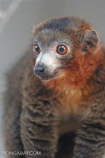 Male mongoose lemur (Eulemur mongoz) [madagascar_ankarafantsika_0021]