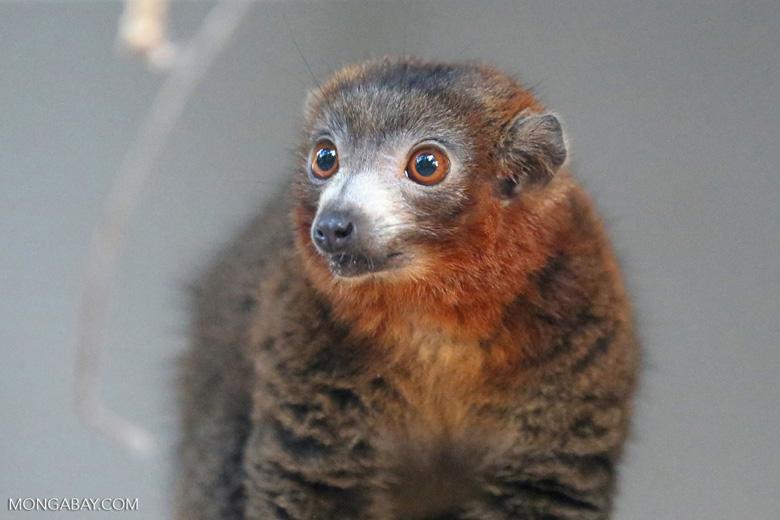 Male mongoose lemur (Eulemur mongoz) [madagascar_ankarafantsika_0022]