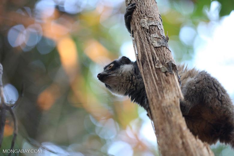 Female mongoose lemur (Eulemur mongoz) [madagascar_ankarafantsika_0025]