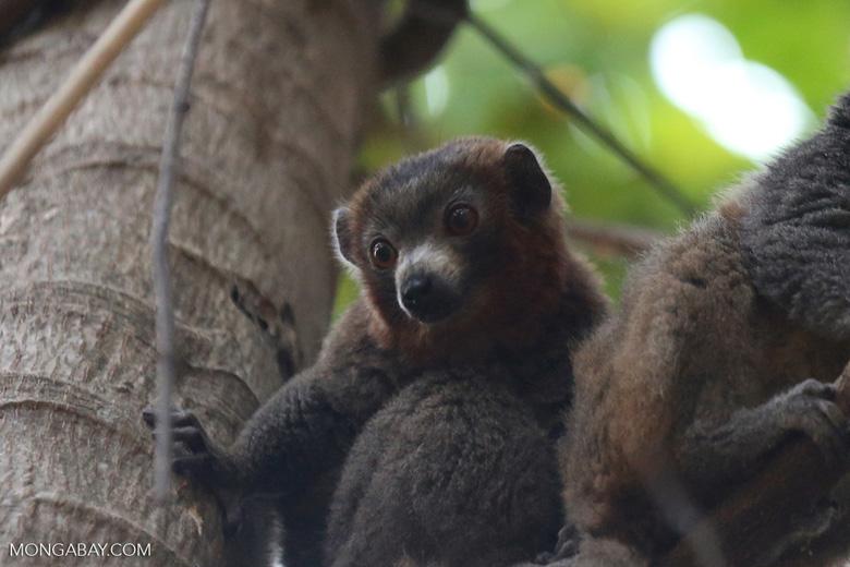 Male mongoose lemur (Eulemur mongoz) [madagascar_ankarafantsika_0026]