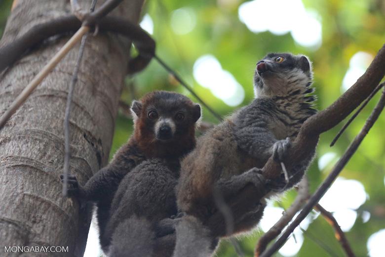 Pair of mongoose lemurs [madagascar_ankarafantsika_0037]