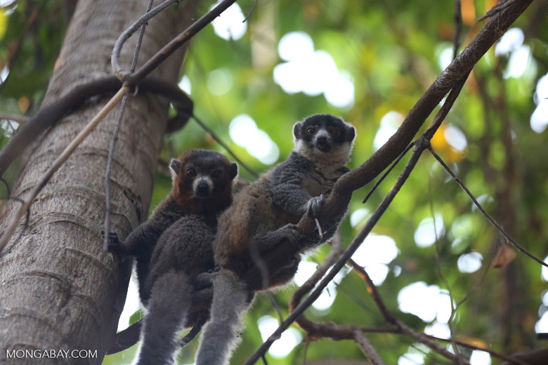 Pair of mongoose lemurs [madagascar_ankarafantsika_0038]