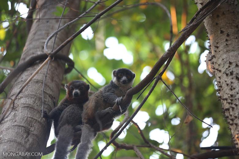 Pair of mongoose lemurs [madagascar_ankarafantsika_0039]