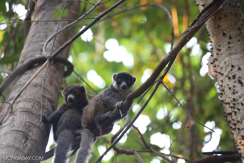 Pair of mongoose lemurs [madagascar_ankarafantsika_0044]