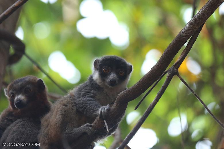 Pair of mongoose lemurs [madagascar_ankarafantsika_0045]