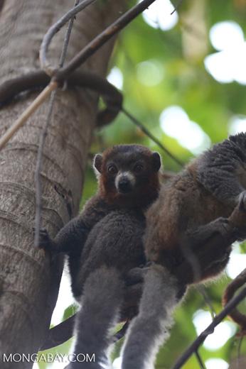 Male mongoose lemur (Eulemur mongoz) [madagascar_ankarafantsika_0047]