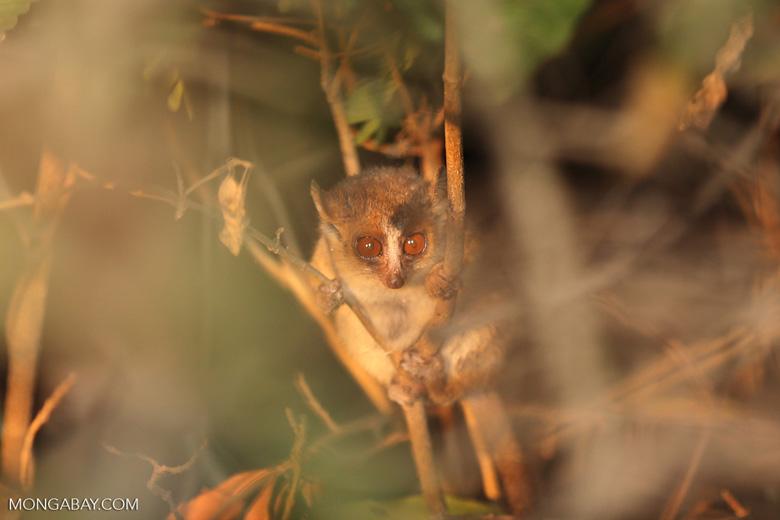 Golden Brown Mouse Lemur (Microcebus ravelobensis) [madagascar_ankarafantsika_0054]
