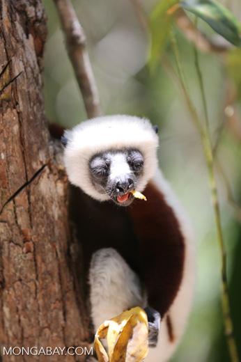 Coquerel's sifaka feeding [madagascar_ankarafantsika_0077]