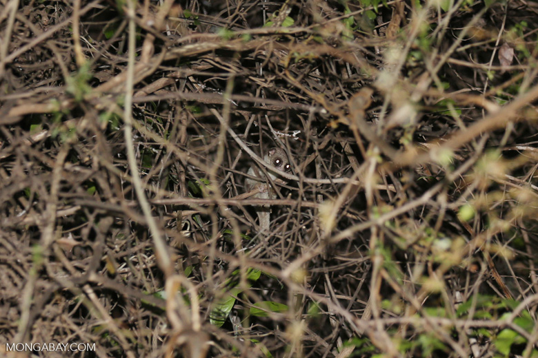 Fat-tailed dwarf lemur (Cheirogaleus medius) [madagascar_ankarafantsika_0088]