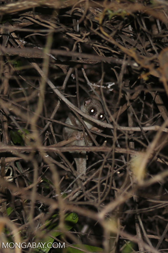 Fat-tailed dwarf lemur (Cheirogaleus medius) [madagascar_ankarafantsika_0091]
