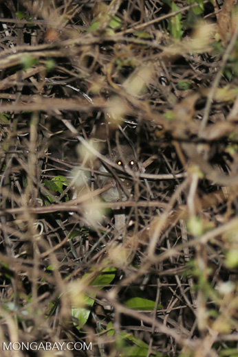 Fat-tailed dwarf lemur (Cheirogaleus medius) [madagascar_ankarafantsika_0094]
