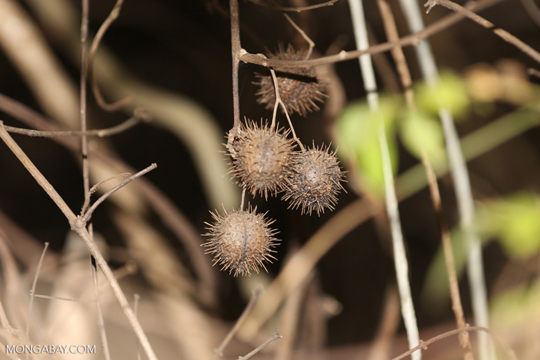 Unidentified spiny seed pods