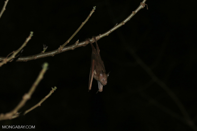 Unidentified bat
