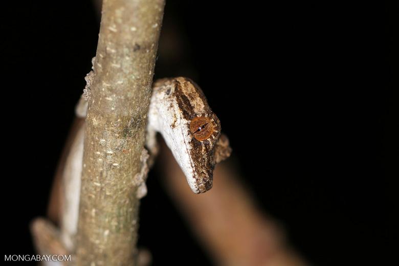Blaesodactylus antongilensis gecko [madagascar_ankarafantsika_0100]