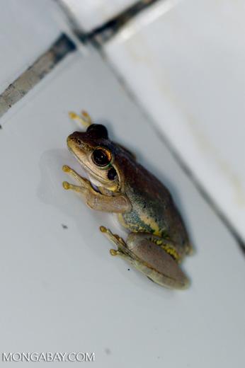 Unidentified frog [madagascar_ankarafantsika_0106]