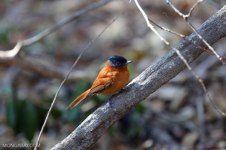 Female Malagasy Paradise Flycatcher (Terpsiphone mutata) [madagascar_ankarafantsika_0130]