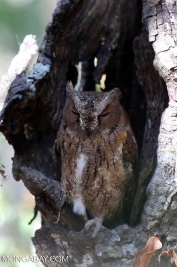 Madagascar Scops Owl (Otus rutilus)