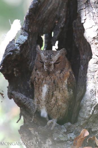 Madagascar Scops Owl (Otus rutilus) [madagascar_ankarafantsika_0145]