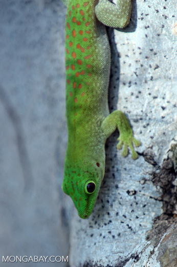 Madagascar giant day gecko (Phelsuma madagascariensis grandis) [madagascar_ankarafantsika_0153]