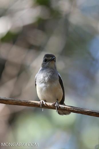 Unidentified bird [madagascar_ankarafantsika_0158]
