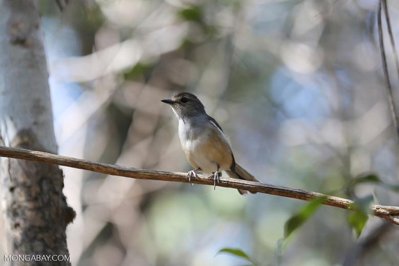 Unidentified bird [madagascar_ankarafantsika_0161]