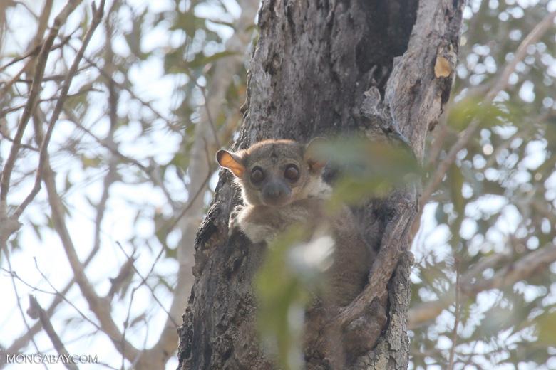 Milne-Edwards' Sportive Lemur (Lepilemur edwardsi) [madagascar_ankarafantsika_0162]