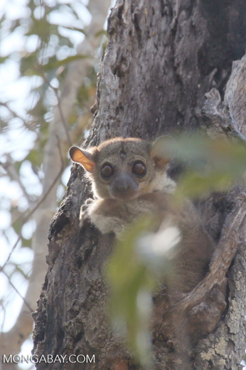 Lepilemur edwardsi sportive lemur [madagascar_ankarafantsika_0164]