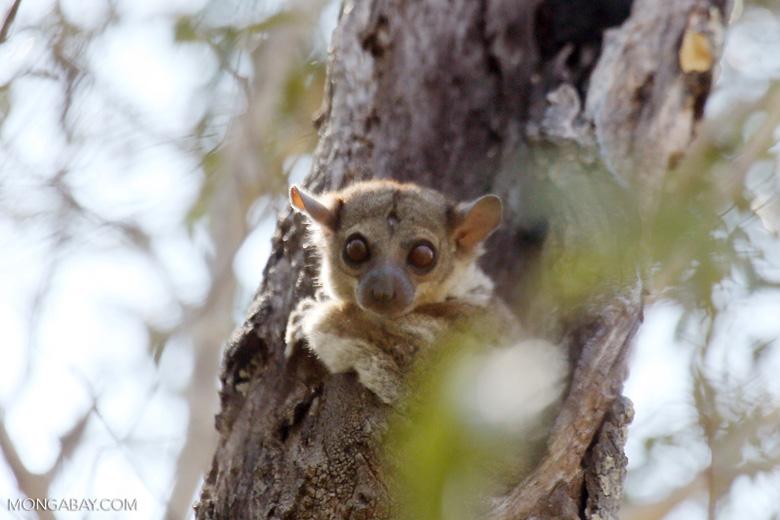 Lepilemur edwardsi sportive lemur [madagascar_ankarafantsika_0169]