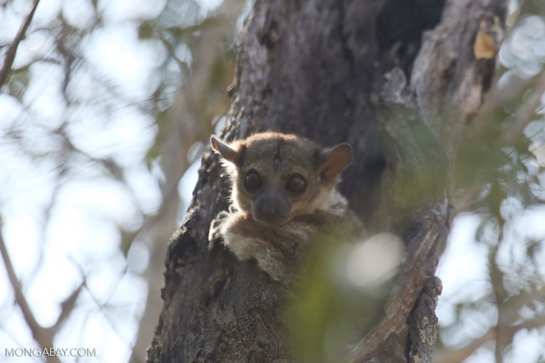 Milne-Edwards' Sportive Lemur [madagascar_ankarafantsika_0170]