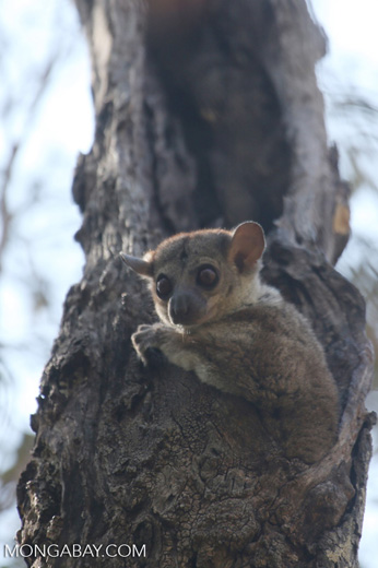 Milne-Edwards' Sportive Lemur (Lepilemur edwardsi) [madagascar_ankarafantsika_0177]