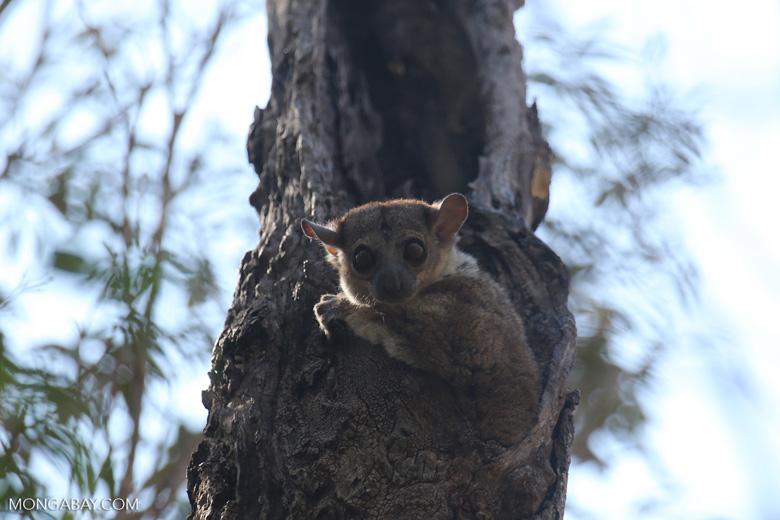 Milne-Edwards' Sportive Lemur (Lepilemur edwardsi) [madagascar_ankarafantsika_0182]