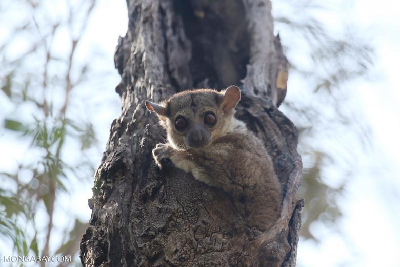 Lepilemur edwardsi sportive lemur [madagascar_ankarafantsika_0184]