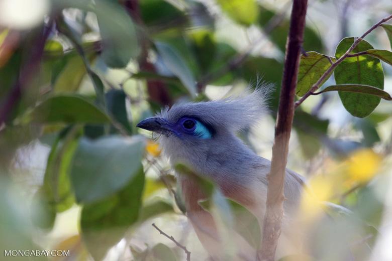 Crested Coua (Coua cristata) [madagascar_ankarafantsika_0201]