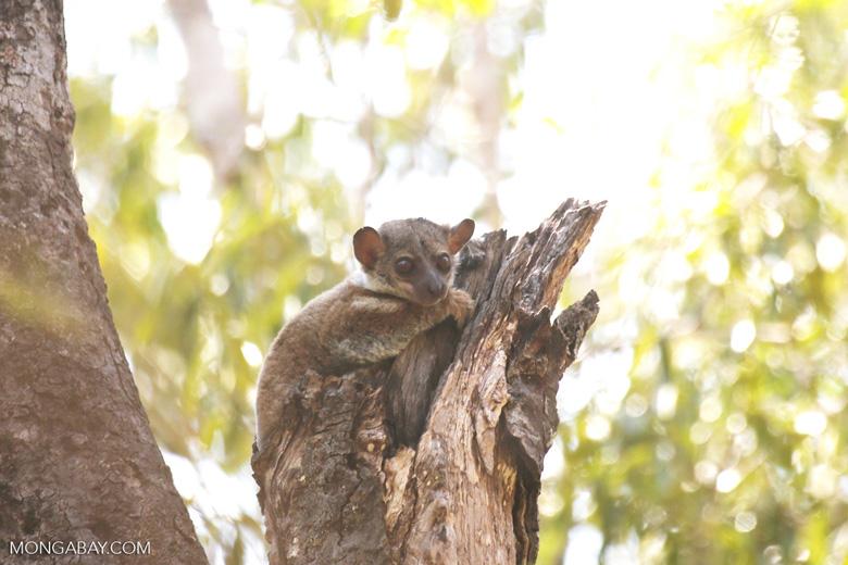 Milne-Edwards' Sportive Lemur [madagascar_ankarafantsika_0211]