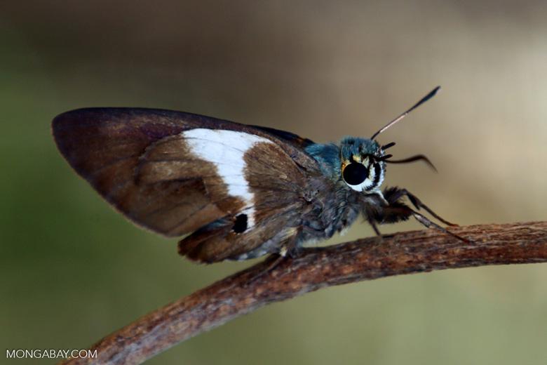 Butterfly [madagascar_ankarafantsika_0221]
